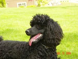 Very smart black miniature poodle.